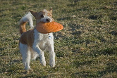 Kromfohrländer Frisbee