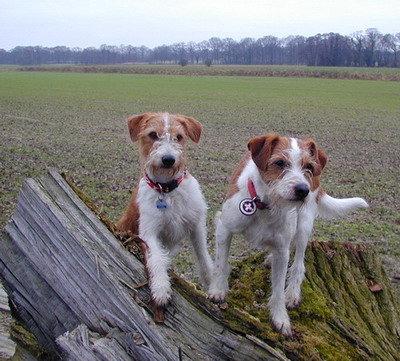 Kromfohrländer Amelie und Basti vom Cronewaldstollen